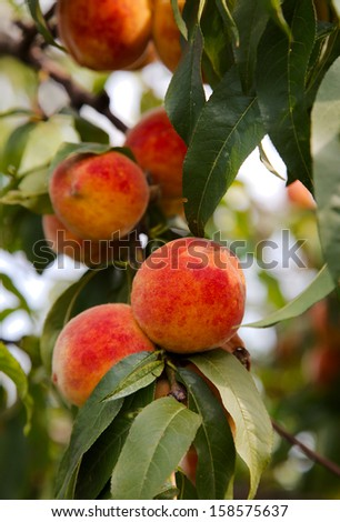 Peaches on a tree between green leaves - stock photo