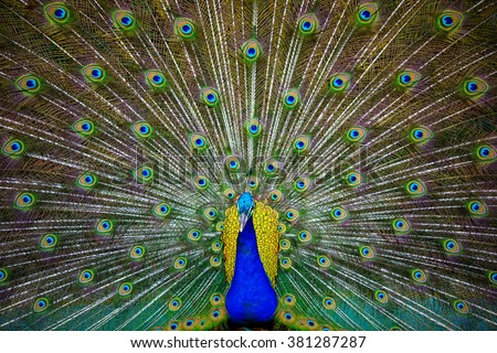 Peacock as texture background - stock photo