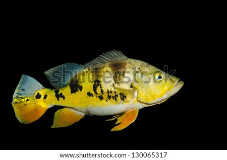 Peacock Bass isolated on black - stock photo