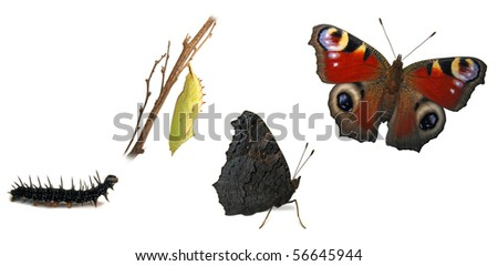 Peacock butterfly metamorphosis - stock photo