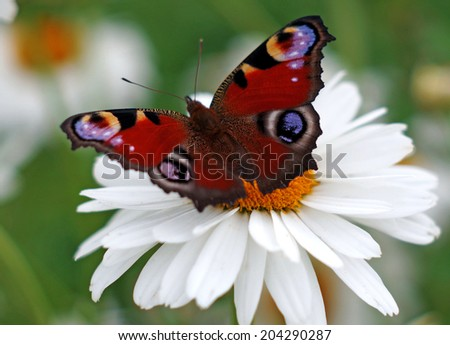 Peacock butterfly on a camomile                               - stock photo
