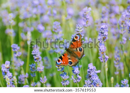 Peacock Butterfly on the Lavender Flower - stock photo