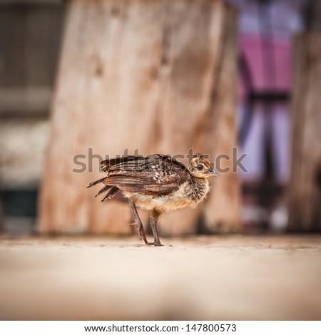 peacock chick - stock photo