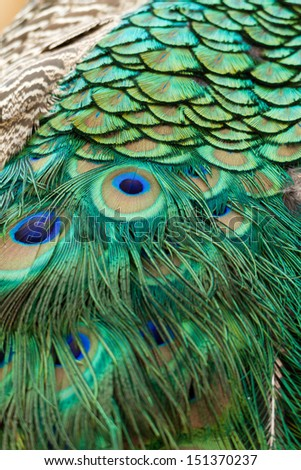 Peacock Close Up Feathers - stock photo