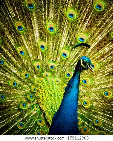 Peacock Display - stock photo