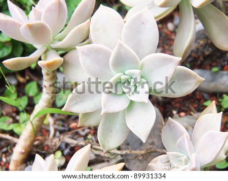 peacock echeveria - stock photo