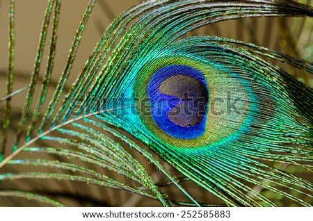 peacock feather close-up - stock photo