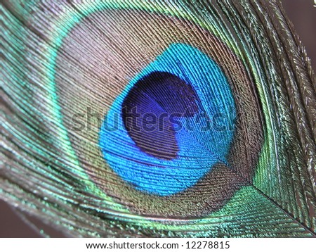 Peacock feather closeup - stock photo