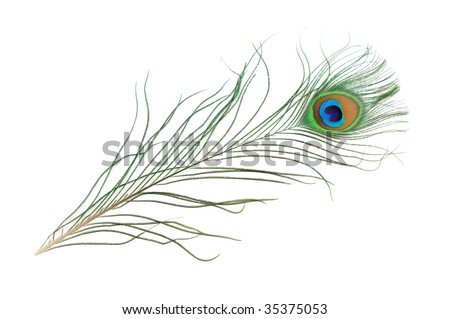 Peacock feather in isolated white background - stock photo