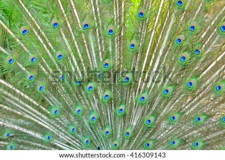 Peacock, feathers - stock photo