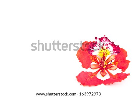 Peacock flower isolated. - stock photo