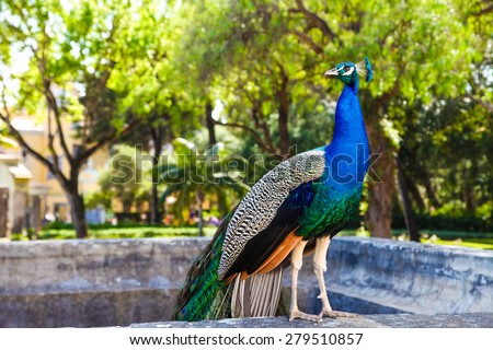Peacock in a park - stock photo