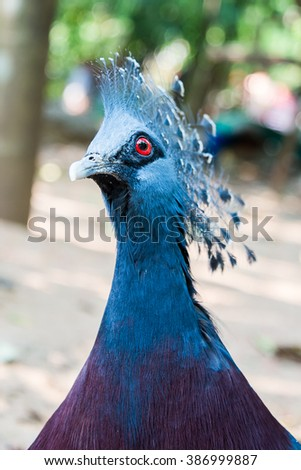 peacock in zoo at Thailand,close up - stock photo