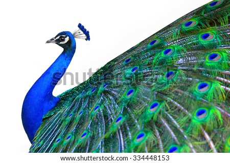 Peacock is isolated on a white background - stock photo