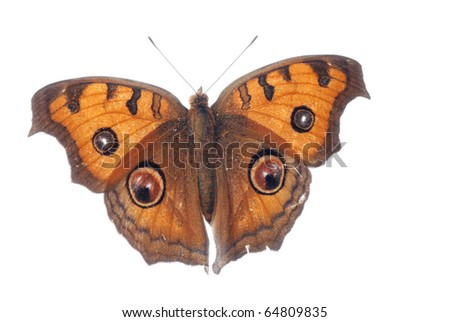 peacock pansy butterfly, Junonia almana, isolated on white background - stock photo