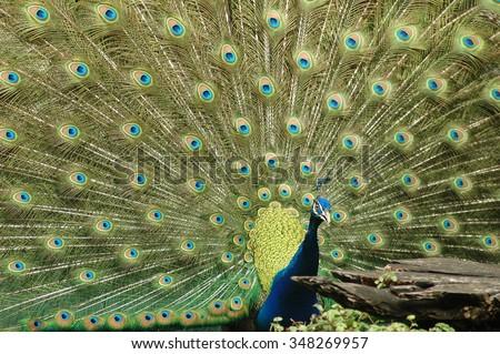 Peacock plume - stock photo