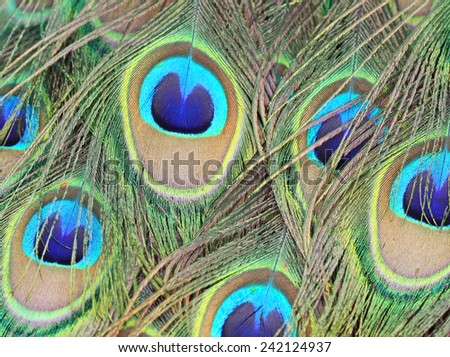 Peacock's feather close up - stock photo