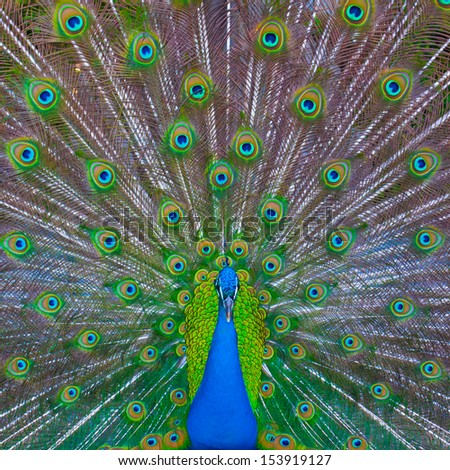 Peacock showing his majestic tail during the mating season. - stock photo