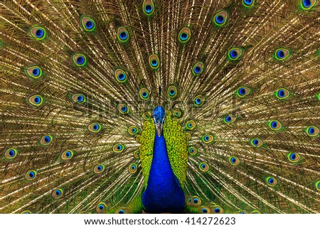 Peacock spread its wings beautifully - stock photo