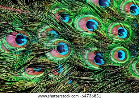 Peacock tail - stock photo