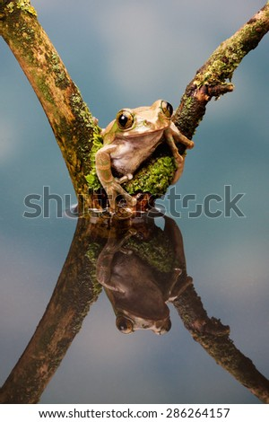 Peacock tree frogs on a log - stock photo