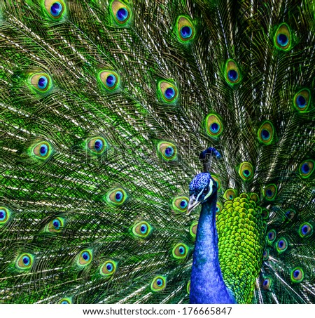 Peacock with beautiful multicolored feathers - stock photo