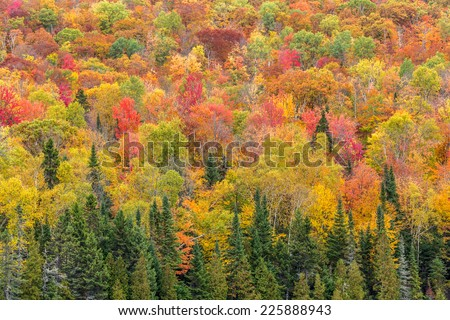 Peak fall colors in the forest - stock photo