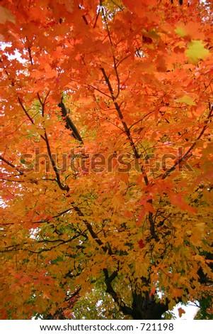 Peak Fall Oak Leaves - stock photo