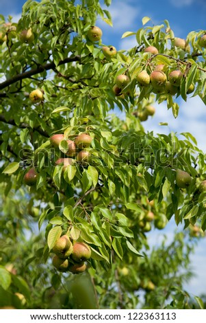 pear fruit hanging on a tree branch - stock photo