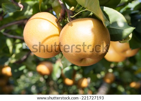 pear fruit on the tree in the fruit garden - stock photo