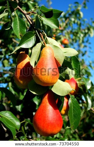 Pear. Juicy ripe red fruit pear against the green foliage and blue sky. - stock photo