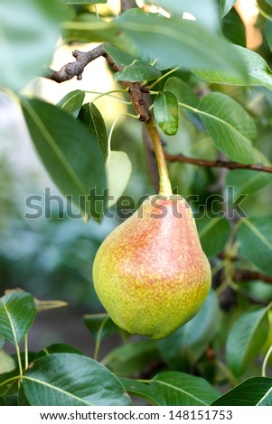pear on tree - stock photo