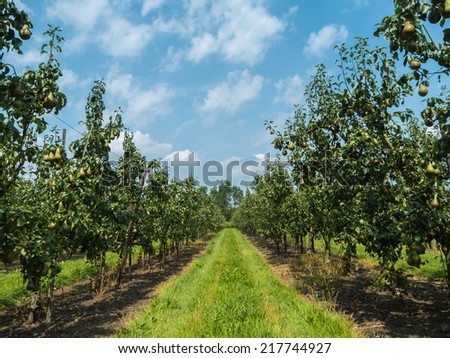 Pear orchard against cloudy blue sky - stock photo