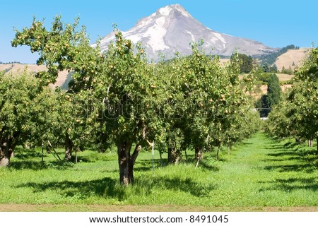 pear orchard in Hood River, Oregon - stock photo