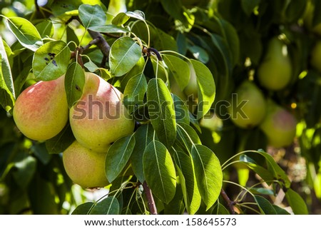 Pear tree - stock photo