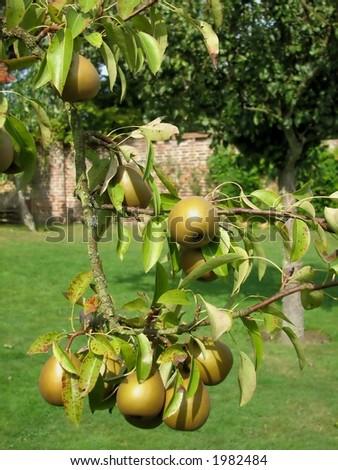 Pear Tree - stock photo