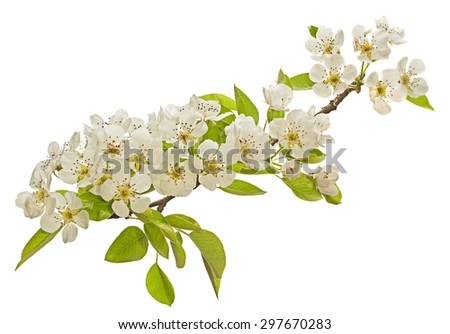 Pear tree blossom flower on white background - stock photo