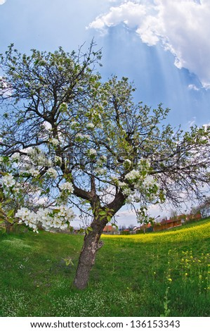 pear tree in spring - stock photo