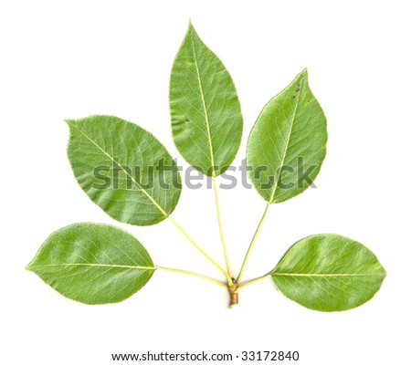 Pear Tree Leaves isolated - stock photo