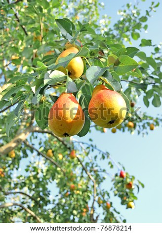 Pear tree. Pears on the tree. Pears on the background of green foliage - stock photo