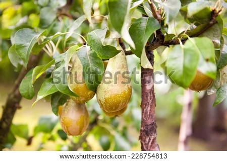 Pear tree ripe fruits cluster grow on twig and green lush foliage, photo taken in Poland, Europe, horizontal orientation, nobody.  - stock photo