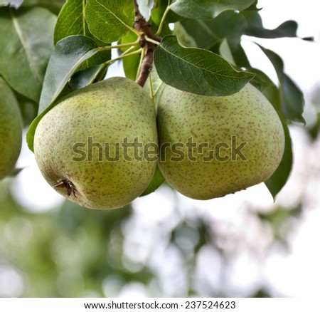 Pear tree with ripe fruits - stock photo