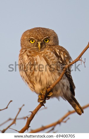 Pearl-spotted Owl, South Africa - stock photo