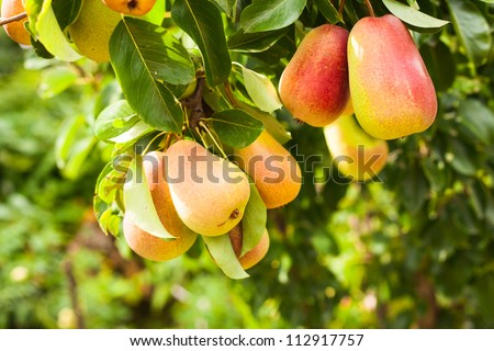 Pears on a tree branch closeup in orchard - stock photo
