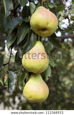 Pears on a tree on a sunny day in the autumn - stock photo