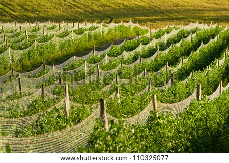 Peas in a field - stock photo