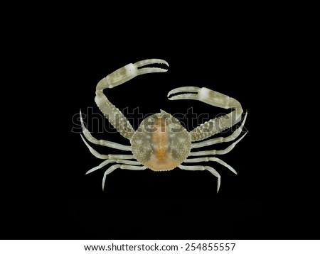 Pebble Crab on black background, ( Philyra platycheira ) - stock photo