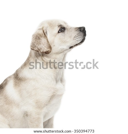 Pedigree golden Labrador Retriever puppy sitting to command and looking up. - stock photo