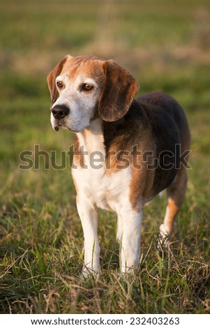 Pedigree proficient foxhound beagle on meadow. Beautiful purebred smart beagle hunting dog in summer pasture - stock photo