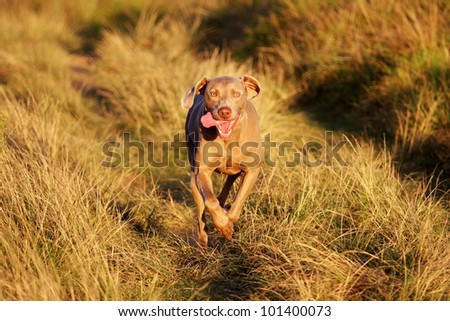Pedigree weimaraner dog running in this portrait from South Africa - stock photo